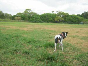 Lentil enjoying Bill Lammond Park