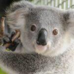 koala_basic (2)